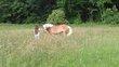 Poney Haflinger 7 ans