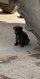 Chiot Mastiff Anglais