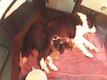 Adorables chiots border collie