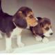 Bébés Beagles