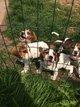 Chiot beagle vendeen