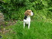 Adorable beagle femelle xbeagle m
