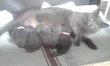 Magnifiques chatons chartreux