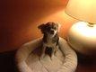 Magnifique femelle Chihuahua Poils longs