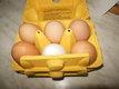 œuf de poules bio
