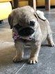 Merveilleuses petites femelles Chihuahua à...