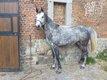 Cavalier confirmer - Jeune cheval de 6 ans - Demi...