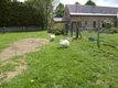 Couple de cygnes blancs age 5 ans éjointé bagué