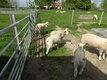 Moutons Texel francais antenaise et agneau