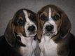 Superbes chiots Beagle