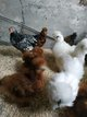 Poule de soies + coqs + couples de bantams de...