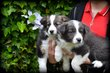 Chiots Border Collie merle tricolor choco