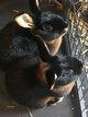 2 lapins noir feu