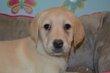 Chiots Labrador beige, noir et chocolat