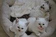 Chatons sacré de birmanie à réserver