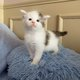 Magnifiques chatons maine coon grand gabarit