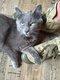 Pipo, adorable typé chartreux mâle de 9 mois