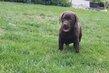 Labrador chocolat male et femelle