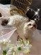 Chatons Selkirk Rex (chats moutons) disponibles à...