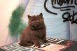 2 magnifiques chatons british shorthair chocolat...