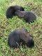 Magnifiques chiots malinois charbonnés