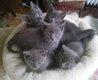 Chartreux - chatons à réserver  M .-...