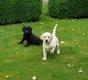 Chiots noire et blonde Labrador (pérè avec...