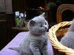 British shorthair - chaton dispo- péd- identif-...