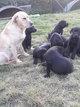 Chiots Labrador Pure race Noir