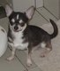 Chihuahua adultes
