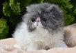 Réservé très joli petit persan mâle