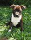Superbes chiots Staffordshire Bull Terrier -...