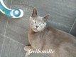 Gribouille, adorable chat mâle typé chartreux