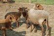 Un troupeau de moutons ardennais roux