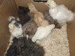 Poussins de poule soies (différents coloris)