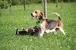 Chiots beagle tricolores