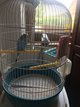 Perruche bleu avec cage
