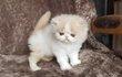 Magnifiques chatons persans et exotics shorthair