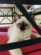 1 chaton Sacre de birmanie «chatterie des...