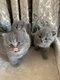 Adorables bébé british shorthair et longhair bleu