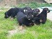 Chitos berger allemand / duitse herder pups