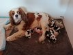 Chiots Cavalier King Charles tricolores