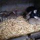 Jeunes de lapins nés à la maison