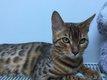[cherche] chat Bengale pour saillie