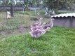 Oies de Guinées (jeunes de cette année)