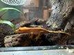 Rachodactylus Ciliatus + Terrarium complet