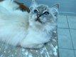 Superbe chat Sacré de Birmanie [cherche] famille.