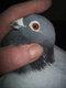 Pigeon voyageur mâle