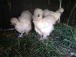 Poules de soies blanches