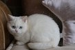 British shorthair disponibles